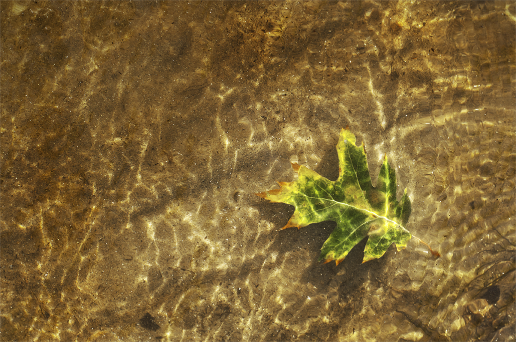 wilted green leaf in golden water